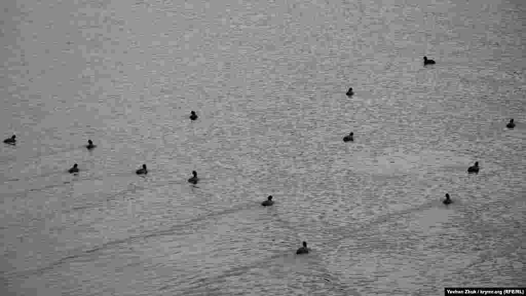 По воді«креслять»траєкторії дикі качки