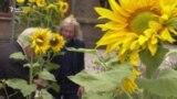 Живі соняшники – в пам'ять про загиблих у «Боїнгу» рейсу MH17 – репортаж із Нідерландів (відео)