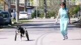Azil u Rusiji za pse sa invaliditetom