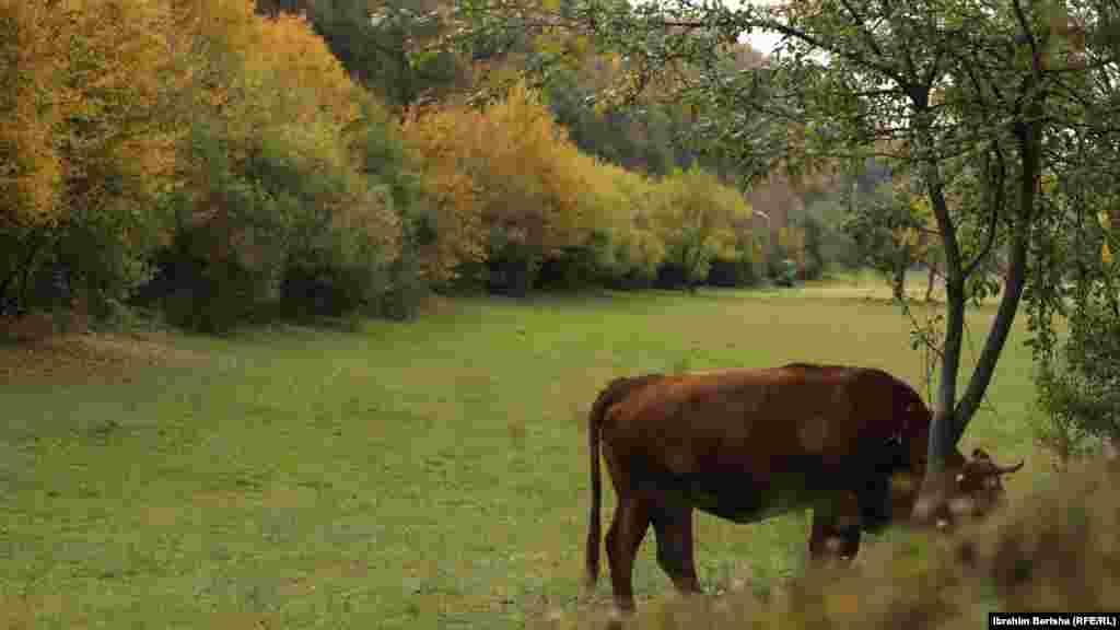 Një lopë duke kullotur në Parkun e Gërmisë.