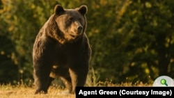Ursul Arthur a supraviețuit 17 ani în sălbăticie. A fost ucis pe 15 martie de un prinț austriac venit în România special pentru a-l împușca.