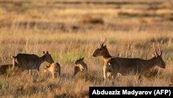 Сайгаки — реликтовые степные антилопы