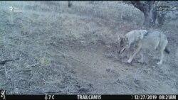Волчья семья попала в видеокапкан