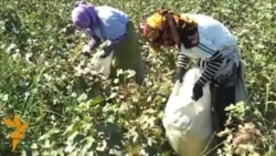 Turkmen Cotton Picking In Lebap Province