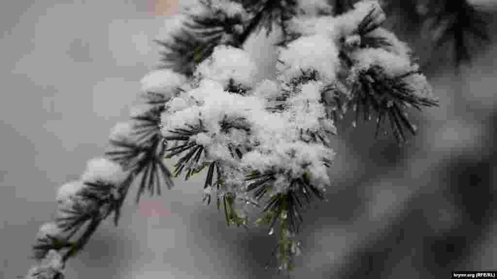 Кедрова гілка в мокрому снігу