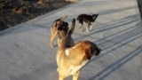 Turkmenistan. Dogs on the street of Ashgabat. November 2020.