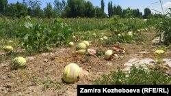 Арбузное поле в Кара-Сууйском районе.