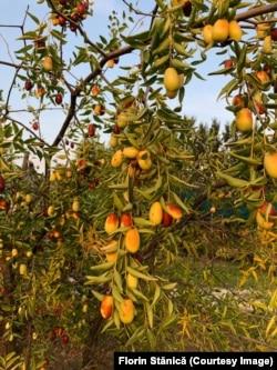"""Curmalul chinezesc dezvoltat la Agronomie are fructele mari, spre deosebire de """"curmalul dobrogean"""", pe care localnicii îl confundă cu măslinul."""