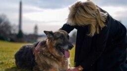 Joe Biden felesége, Jill Biden a család egyik kutyájával, Champpal játszik, miután kedvenceik megérkeztek Delaware államból.
