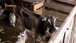 Две козы и нюансы правосудия
