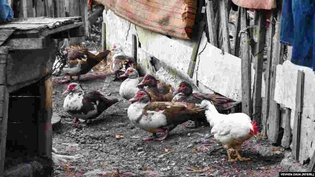 Кури і качки на сільському подвір'ї