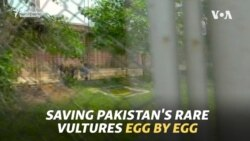 Saving Pakistan's Rare Vultures Egg By Egg