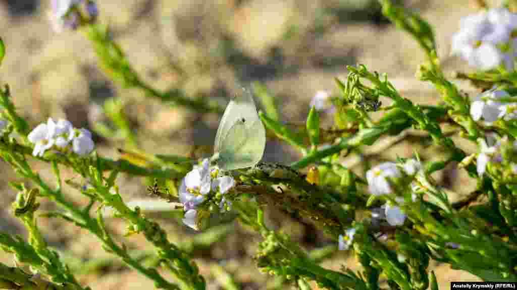Пляжный цветущий кустик привлек бабочку и гусеницу