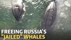 Russian 'Whale Jail': Cousteau Says Freeing Them Will Take Time