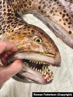 A farkashal egymás mögött több sorban elhelyezkedő, félelmetes fogairól híres, amelyekkel kagylókat, rákokat ropogtat el jóízűen.