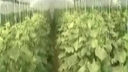 دهاقین فراه سالانه ۱۵ میلیون دالر از محصول گلخانهها بدست میاورند