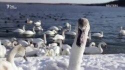 Лебеді рятуються від морозів у теплій воді при Хмельницькій АЕС (відео)
