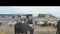 Ermənistanda qoyun qıtlığı