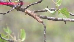 Биологическая война на фисташковых деревьях