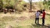 «Две коровы» Назарбаева. Реакция на совет экс-президента