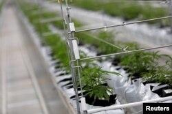 Biljke kanabisa rastu unutar fabrike Tilray u stakleničkoj tvornici u Cantanhedeu u Portugalu, 24. aprila 2019.