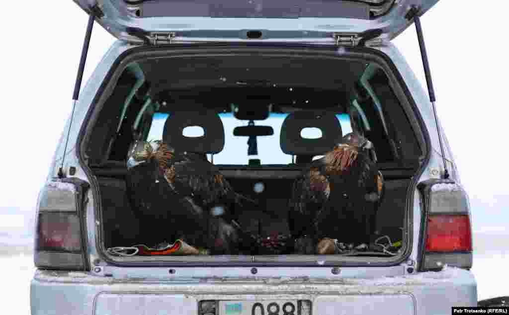 Златни орли чакат в багажника на автомобил по време на състезанието.