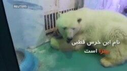 پیتزا غمگین ترین خرس قطبی جهان