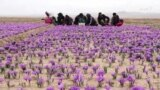 ښايي هرات سږ کال ۱۲ ټنه زعفران تولید کړي