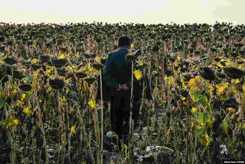 A migrant worker from Uzbekistan walks into a sunflower field near a tent camp in the Kinel district of Russia's Samara region. (TASS/Albert Dzen)