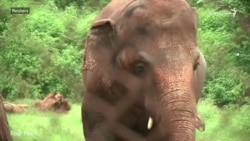 له اوږدې مبارزې وروسته 'د نړۍ تر ټولو يوازې' فيل له پاکستانه ولېږدول شو