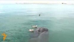 Сиам егіздері сұр кит