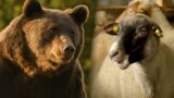Romania's Bear Battle Ignites Following Poaching Death of 'Arthur' video grab3