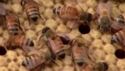 Спасти мед от исчезновения