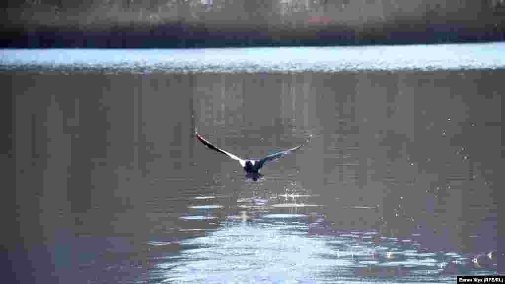 Утка взлетает с водной глади Торопова озера под Севастополем.Больше фото – в фоторепортаже корреспондента Крым.Реалии