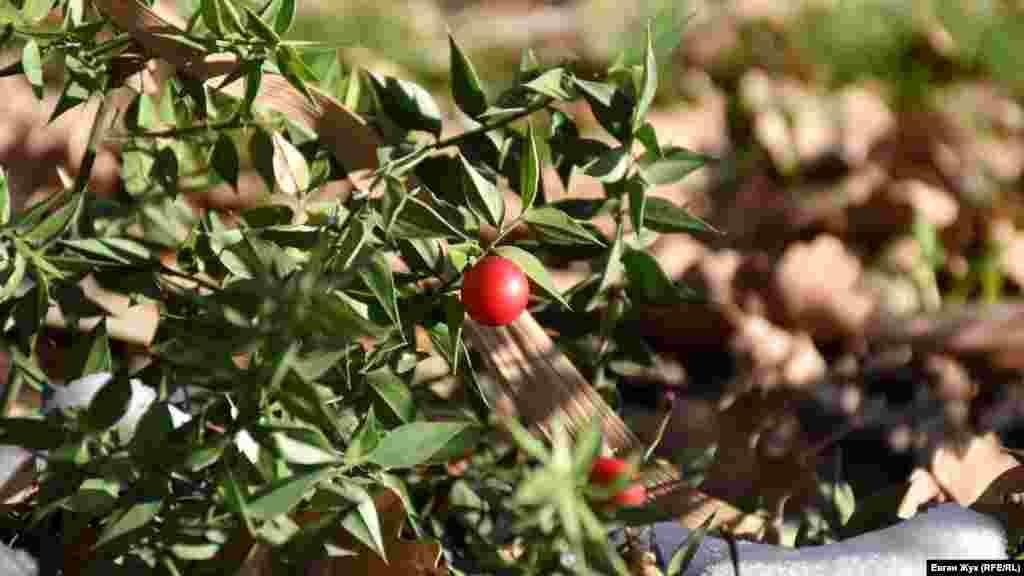 Красные ягоды вечнозеленой иглицы колючей созревают в ноябре-декабре и сохраняются всю зиму, а цветет это растение обычно в феврале-апреле