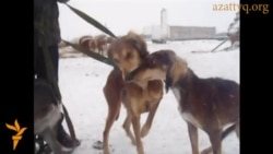 Казахские охотничьи собаки