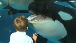 Американским китам-убийцам запретили размножаться