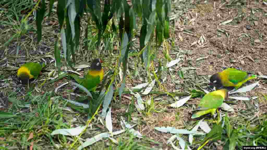 Паркові папуги-нерозлучники ласують у вольєрі вербовим листям