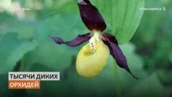 Тысячи орхидей расцвели в сибирском лесу