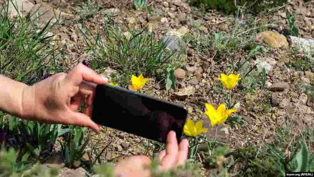 Головна ж прикраса вершини – дикі тюльпани Шренка. У Криму відомо вісім різновидів цієї рослини, що відрізняються, в основному, кольором бутона – жовті, червоні, білі, а також різні варіації змішування цих квітів