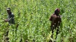 "Что будет с наркотрафиком в Афганистане при ""Талибане"""