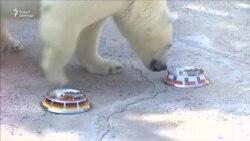Белая медведица предсказала исход игры Германия-Чили