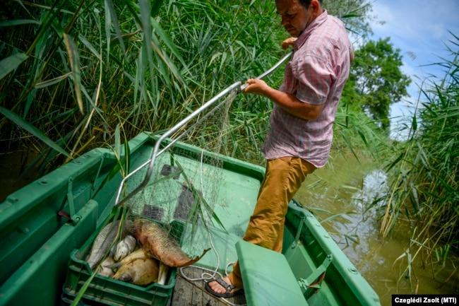 A Hortobágy folyóból merik ki a döglött halakat 2020. július 4-én. A nagy hőség és a kevés vízhozam miatt kialakult oxigénhiányos állapot folytán naponta több láda elpusztult halat kellett kiszedni