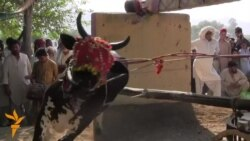 Bull-Running In Pakistan