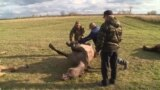 Полиция Нуриманда атлар атучыны һаман тота алмый