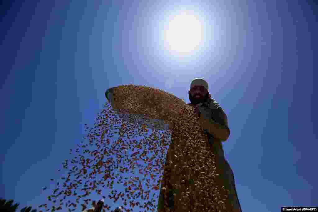A Pakistani farmer sorts wheat grains after they have been threshed in a village on the outskirts of Peshawar. (epa-EFE/Bilawal Arbab)