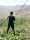 Afghanistan - officials destroying opium poppy crops - poppies, narcotics, drug trade, heroin - screen grab