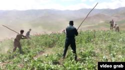 Afganisztánban tisztségviselők a földdel tesznek egyenlővé egy mákültetvényt, 2021. június 8.