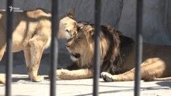 Про лева Торіка, який має хазяїна, але мешкає в зоопарку