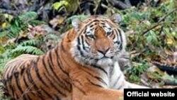 Амурский тигр – одно из самых крупных хищных млекопитающих на Земле